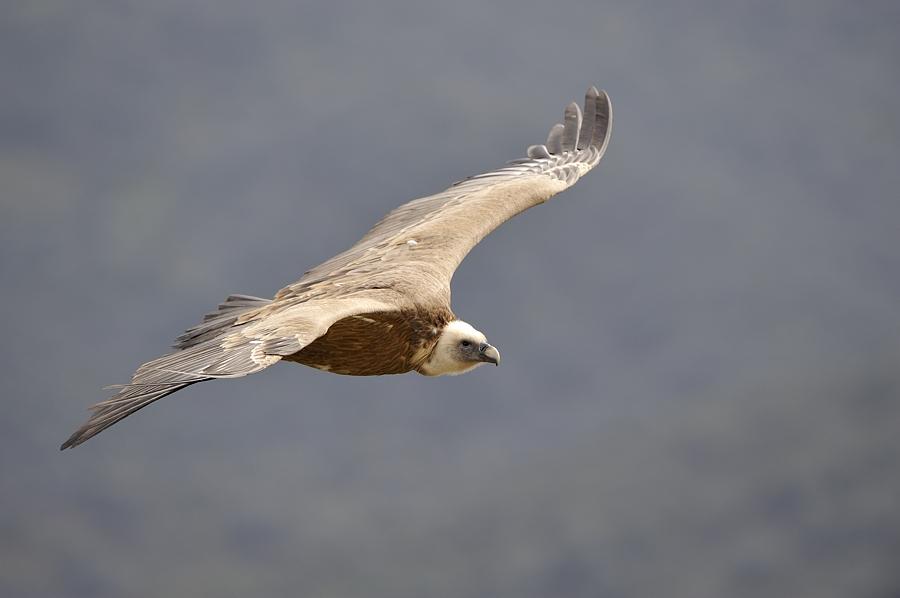 Majestueus; een vale gier vliegt voorbij