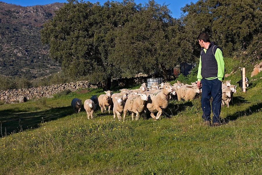 Antonio met zijn kudde op ons land